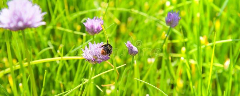 Ett fält av att blomma gräslökar och humlan som samlar nektarnärbild royaltyfria foton