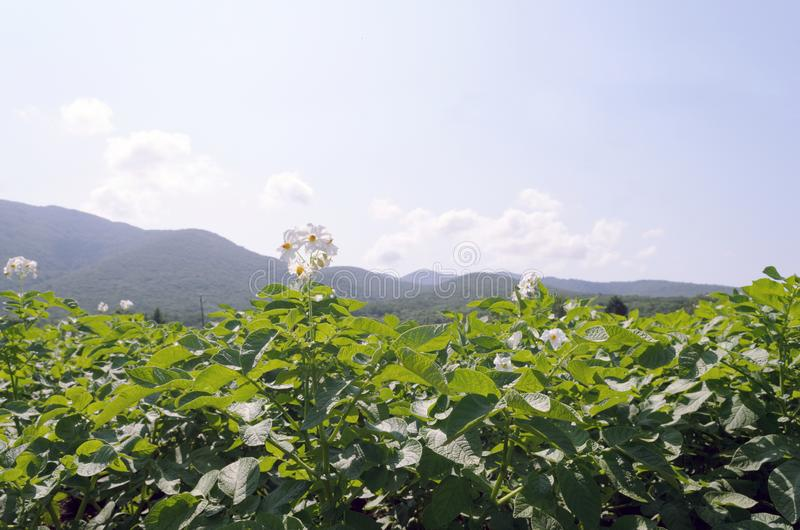 Ett fält av att blomma potatisar mot bakgrunden av berg och en blå himmel med moln arkivfoton