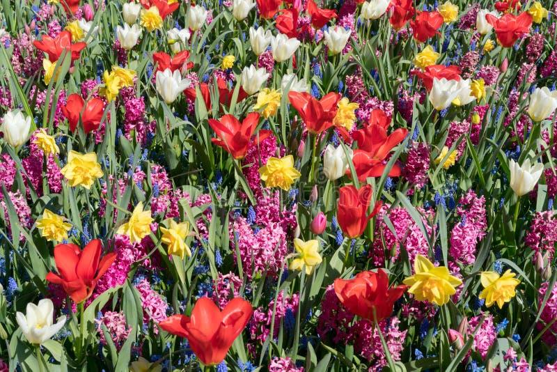 Ett fält av blommor som består av den vita tulpan, röd tulpan, muscari, hyacint, pingstlilja på en solig vårdag royaltyfri bild