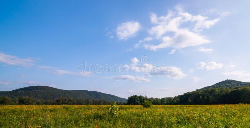 Ett fält av den svarta synade susan blomman med berg i bakgrunden royaltyfri bild