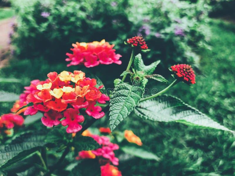 Ett fält av färgrika lantanablommor som blommar i nedgången arkivfoton