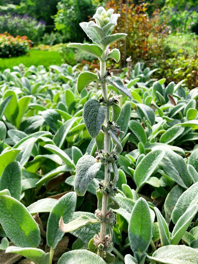 Ett fält av grönt växa för Stachyslanataväxter royaltyfria bilder