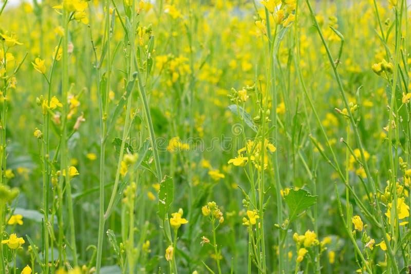 Ett fält av gula blommor i vår H?rlig ?ngbakgrund arkivfoton