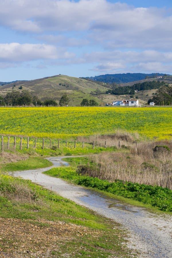Ett fält av gula vildblommor; lantgårdhus och berg i bakgrunden, Half Moon Bay, Kalifornien royaltyfria bilder
