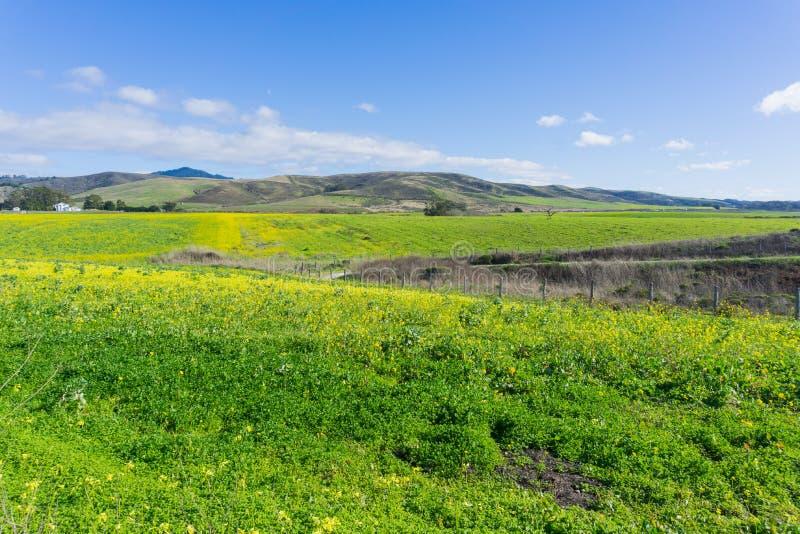 Ett fält av gula vildblommor; lantgårdhus och berg i bakgrunden, Half Moon Bay, Kalifornien arkivfoto