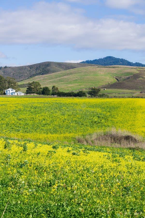 Ett fält av gula vildblommor; lantgårdhus och berg i bakgrunden, Half Moon Bay, Kalifornien royaltyfria foton