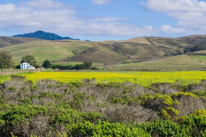 Ett fält av gula vildblommor; lantgårdhus och berg i bakgrunden, Half Moon Bay, Kalifornien arkivbild