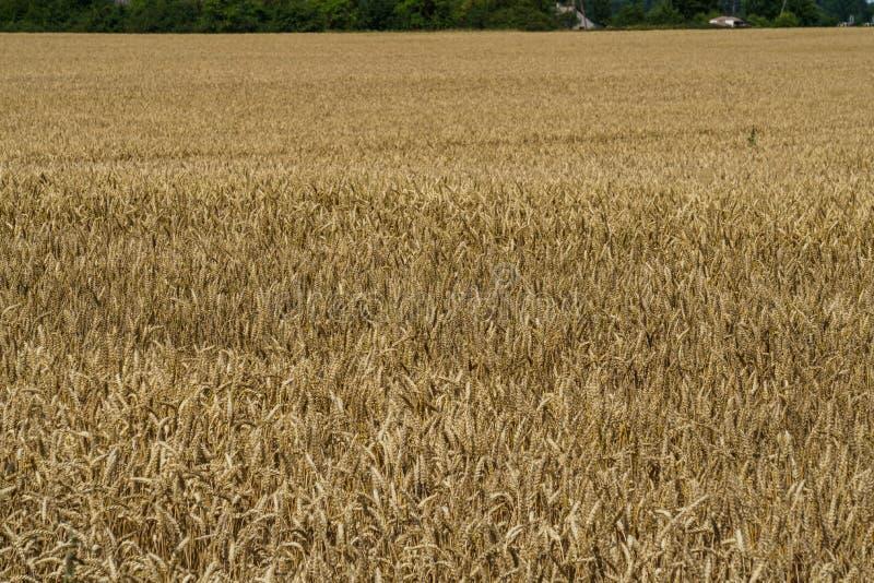 Ett fält av guld- mognat korn i byn royaltyfria bilder