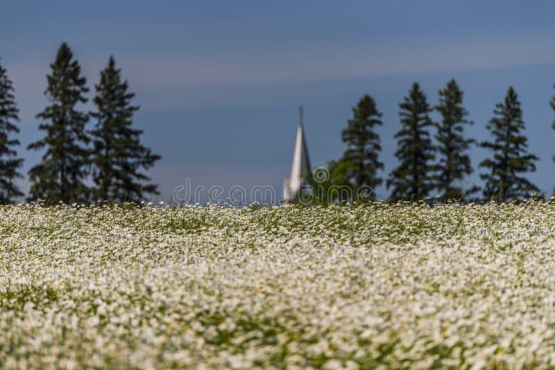Ett fält av lösa tusenskönor i nordliga Wisconsin arkivfoto