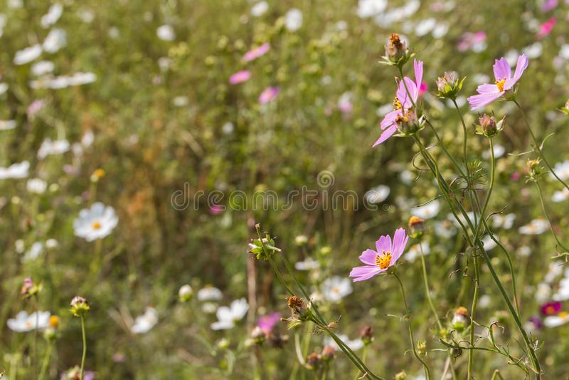Ett fält av löst kosmos blommar med en drömlik blick fotografering för bildbyråer