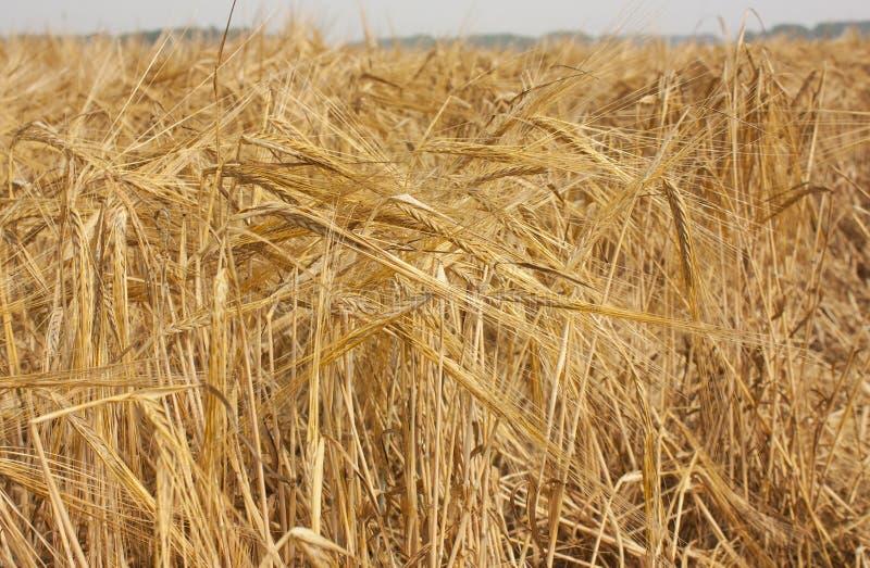 Ett fält av moget korn Lantligt landskap av ett fält under ljust solljus arkivfoto
