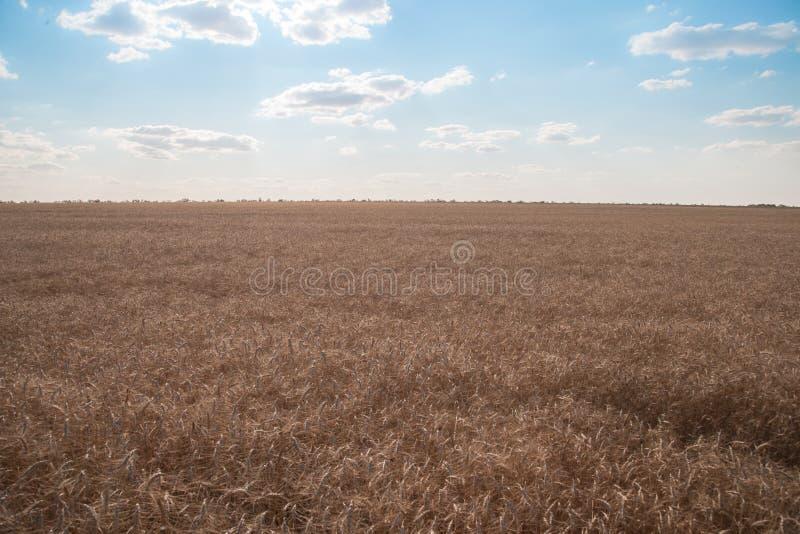 Ett fält av moget vete under litet molnig blå himmel Agricultur arkivbilder