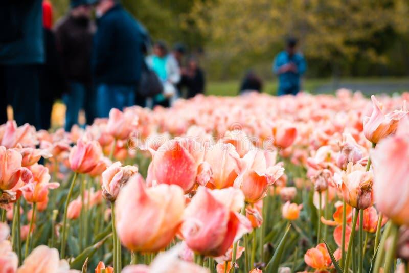 Ett fält av orange och rosa tulpan under tulpanfestivalen i Holland Michigan arkivfoton