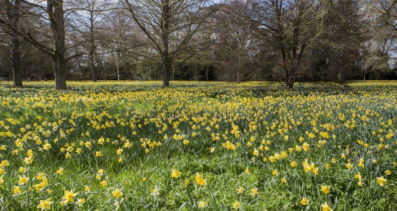 Ett fält av påskliljor fotografering för bildbyråer