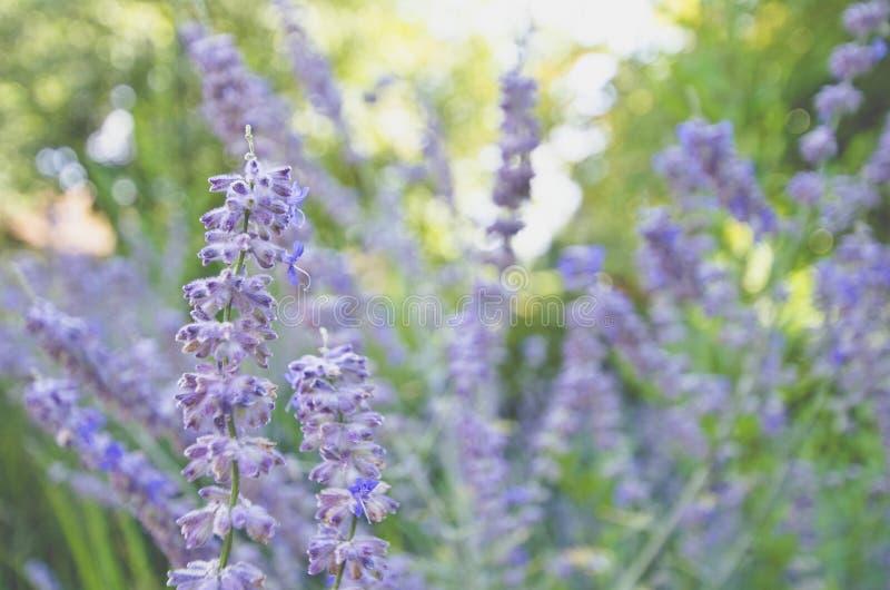 Ett fält av purpurfärgad lavendel blommar under solen royaltyfri foto
