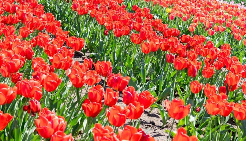 Ett fält av röda tulpan på våren royaltyfri bild