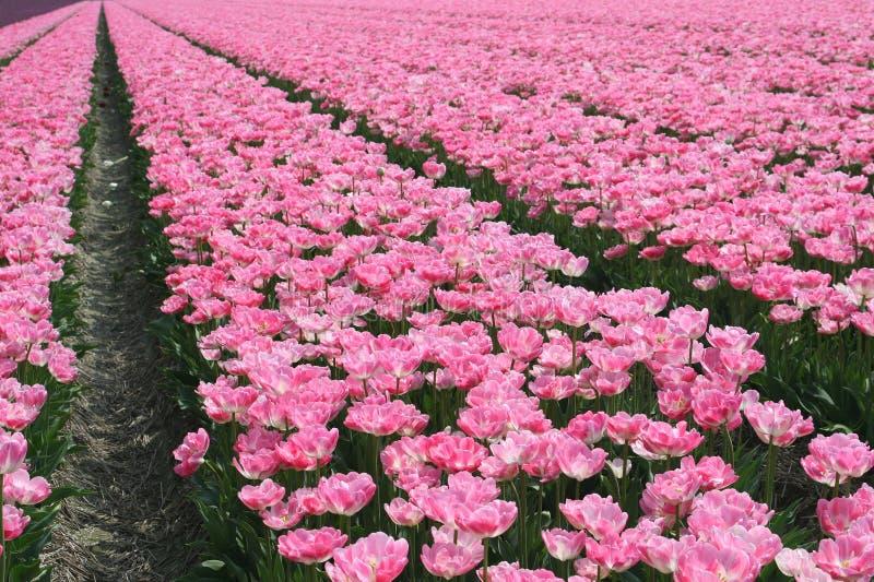Ett fält av rosa tulpan i polder royaltyfria bilder