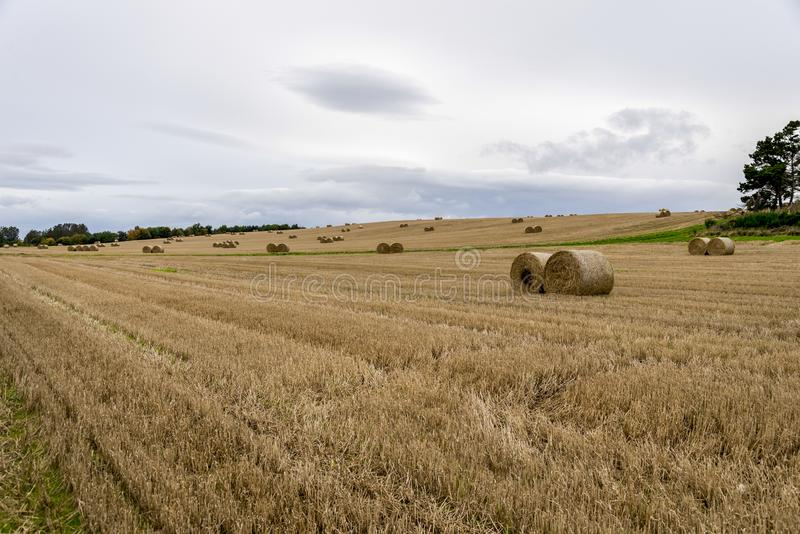 Ett fält av rullande packar av hö i höstsäsong, Aberdeenshire, Skottland arkivbilder