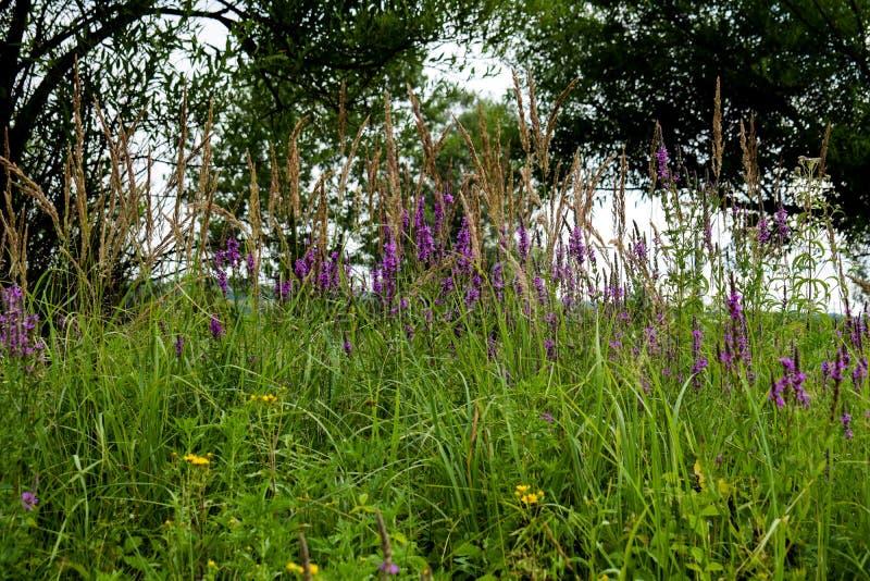 Ett fält med massor av grönt gräs, färgrika fältblommor Foto som tas i aftonen, på solnedgången, på en härlig sommardag arkivbilder