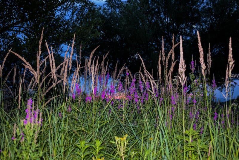 Ett fält med massor av grönt gräs, färgrika fältblommor Foto som tas i aftonen, på solnedgången, på en härlig sommardag royaltyfri foto