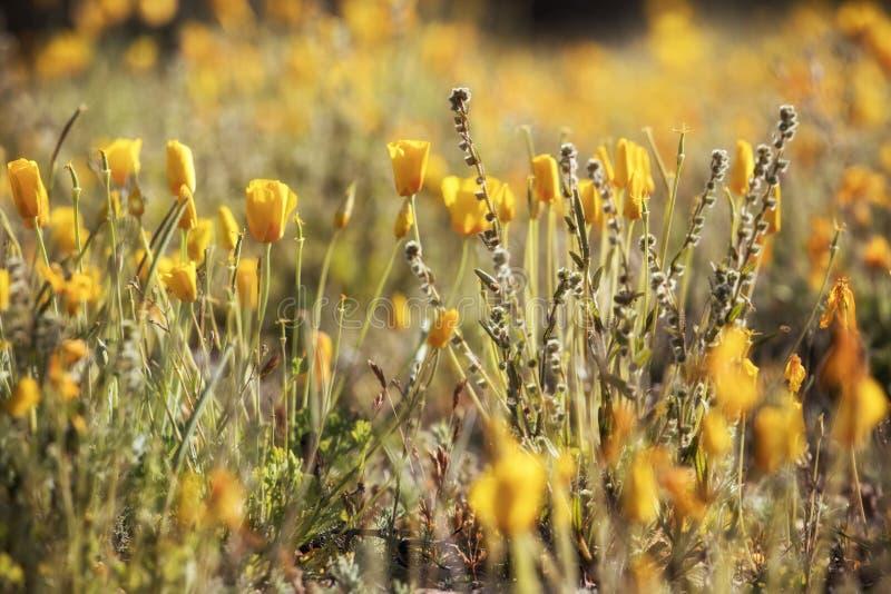 Ett fält med nya poppies från Mexiko royaltyfria foton