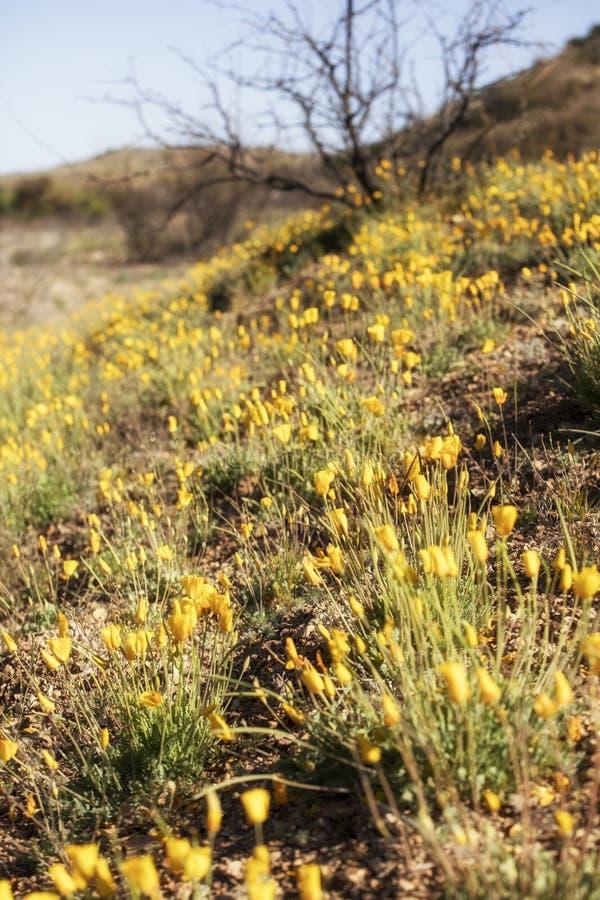 Ett fält med nya poppies från Mexiko arkivbilder