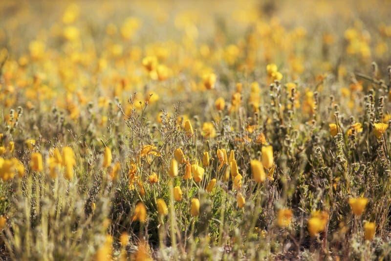 Ett fält med nya poppies från Mexiko fotografering för bildbyråer