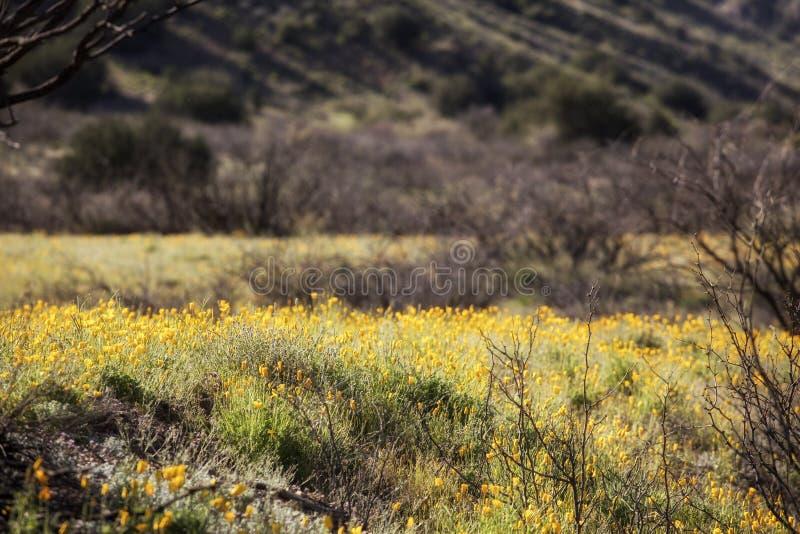 Ett fält med nya poppies från Mexiko royaltyfri fotografi