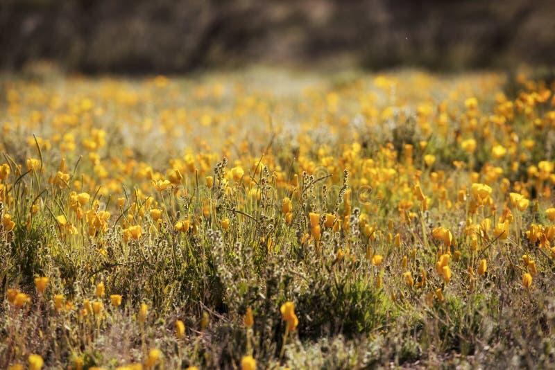 Ett fält med nya poppies från Mexiko arkivbild