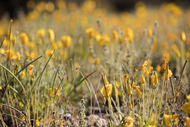 Ett fält med nya poppies från Mexiko royaltyfri foto