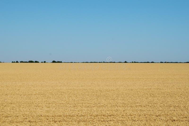 Ett fält mycket av gult vete En blå himmel och en grön skog i avståndet royaltyfri foto