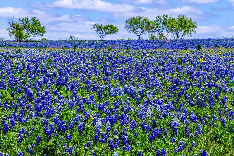 Ett fält som filt med den berömda Texas Bluebonnet arkivfoto
