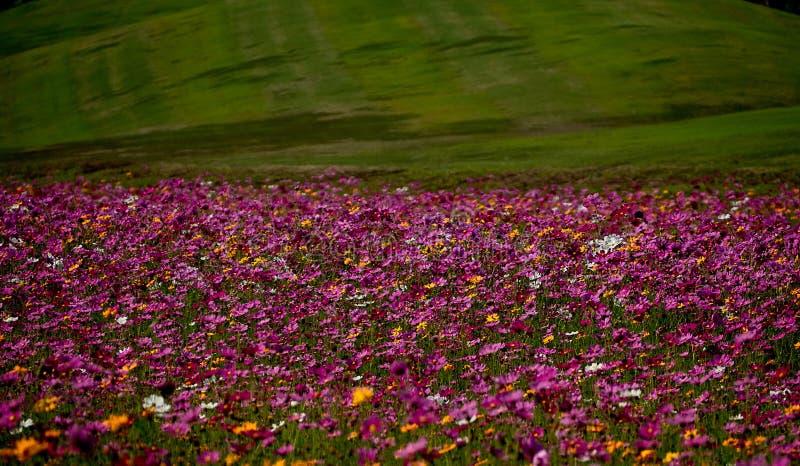 Ett färgrikt fält av kosmosblommaväxten med gräs på Singha parkerar, Chiangrai Thailand royaltyfri foto
