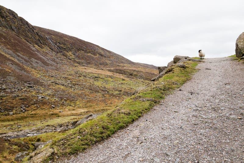 Ett får i irländska berg royaltyfri fotografi