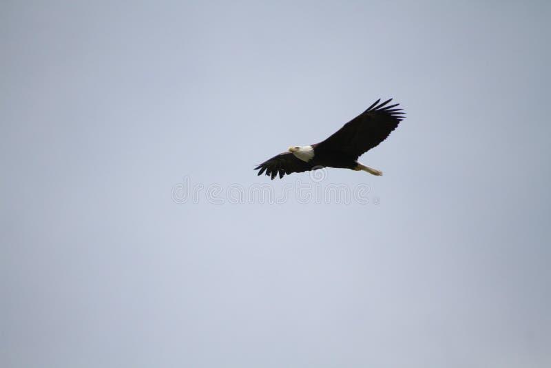Ett flyg för skallig örn i en blå molnfri himmel fotografering för bildbyråer
