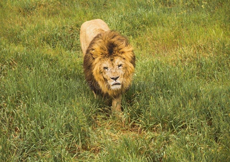 Ett formidabelt lejon med ett ruskigt, skrapat tystar ned går på gräset royaltyfria foton