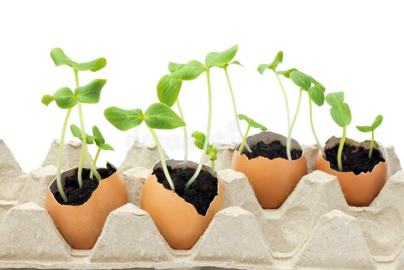 Ett foto av att blomstra gurkaplantan, små groddar i äggskalet med jord som isoleras på vit bakgrund Den växande grodden är arkivbild