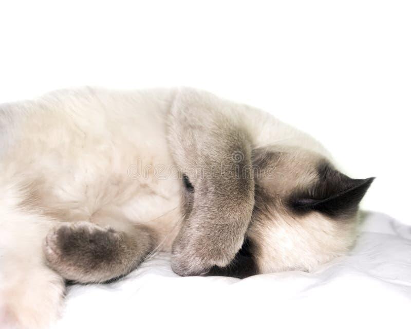 Ett foto av att sova thaien, siamese kulör damkatt för blå punkt arkivfoton