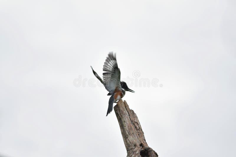 Ett foto av Belted kungsfiskaren som sätta sig på ett träd arkivbilder