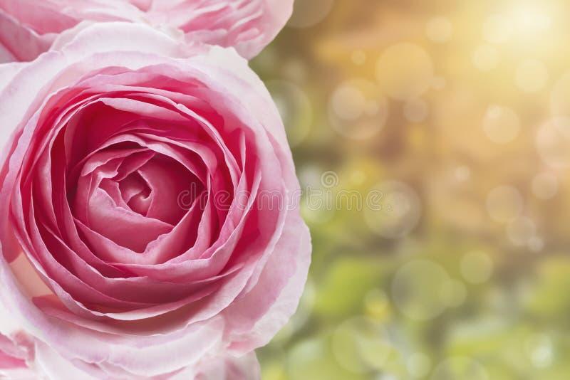 Ett foto av den rosa gränsen för den söta konstgjorda tappningsignalen steg i trädgården Rosa buske i parkera Solsken bokeh med s arkivbilder