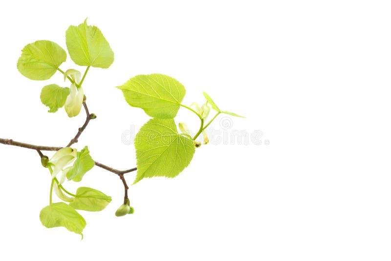 Ett främre foto av filialen för vårlindträd som isoleras på vit Vårpåskris Ställe för text, copyspace arkivbilder