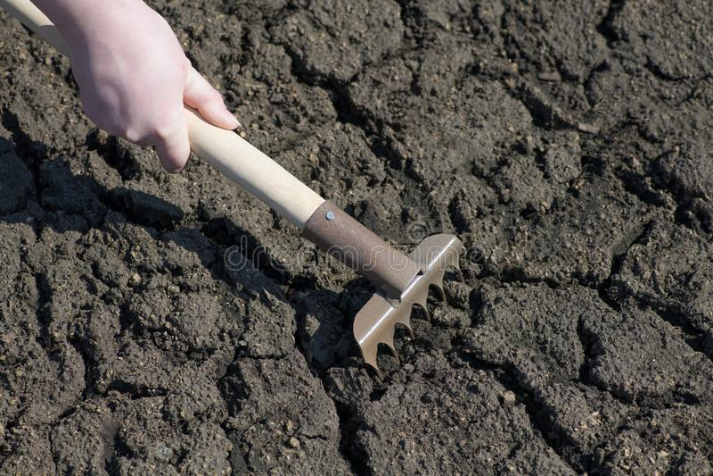 Ett fragment av en hand, som rymmer krattar, och lossar den spruckna jorden Gulaktig bladnärbild arkivfoto
