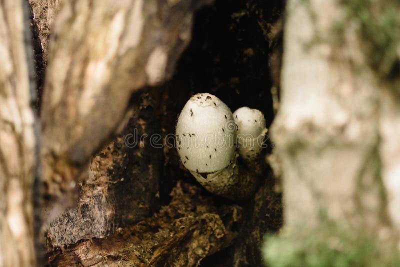 Ett fragment av ett tr?d med en f?rdjupning och champinjoner inom det ?r en fruktfluga flyger royaltyfri bild