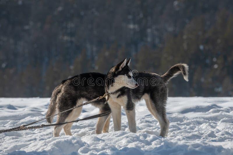 ett frankt roligt foto av den Siberian skrovliga hunden för svartvit valp royaltyfria foton