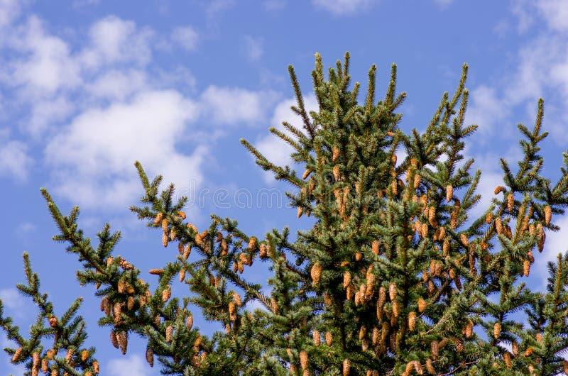 Ett frodigt ungt Sitka prydligt träd laden med nytt kärnar ur kottar med en blå himmel royaltyfri foto