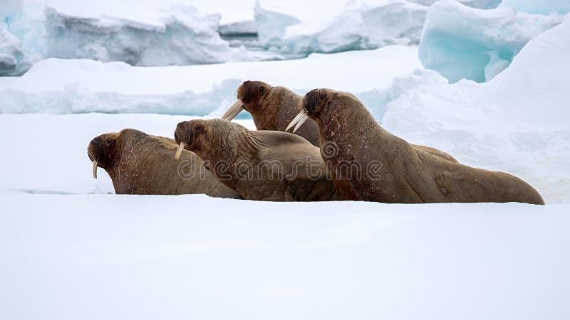 Ett fult av valrossar på den snabba isen runt om Svalbard arkivbilder