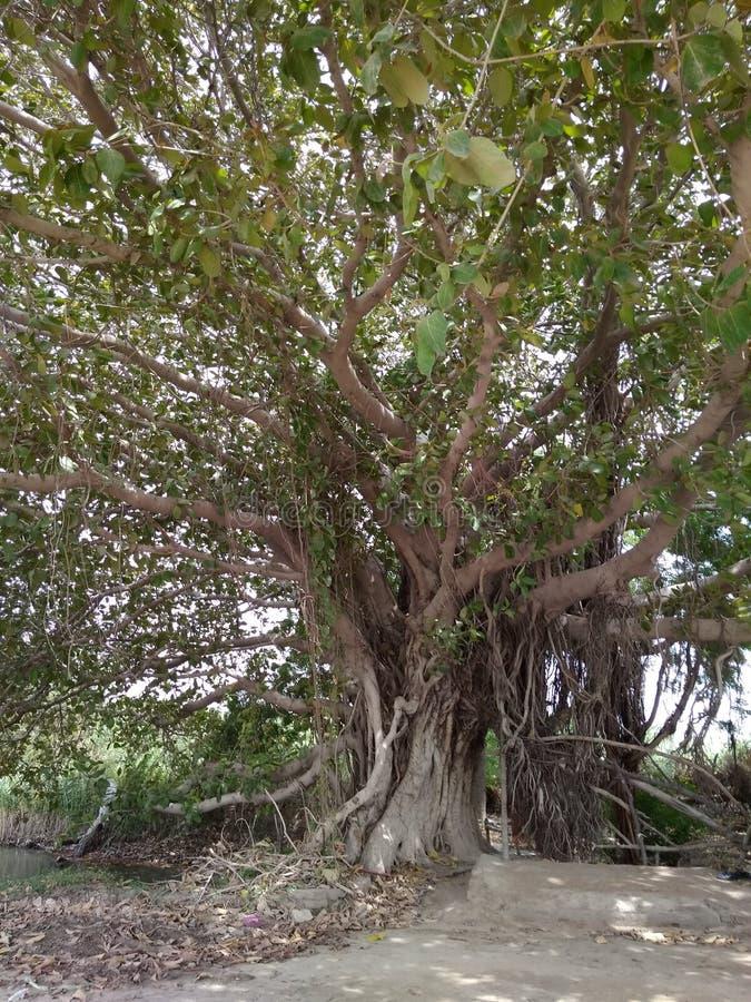 Ett gammalt banyanträd royaltyfria bilder
