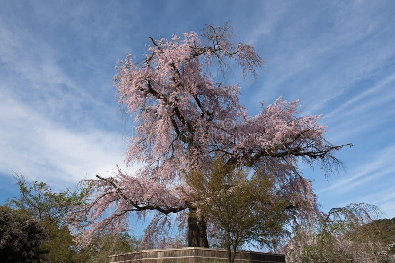 Ett gammalt berömt forntida träd för körsbärsröd blomning på Maruyama parkerar royaltyfria bilder