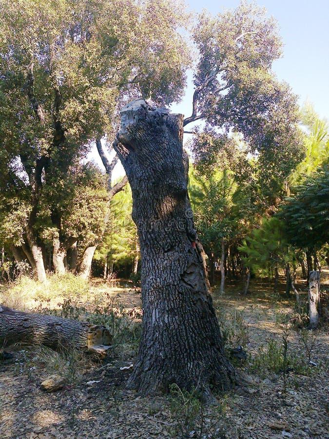 Ett gammalt dött träd i Bostan Albasha - Syrien arkivbilder