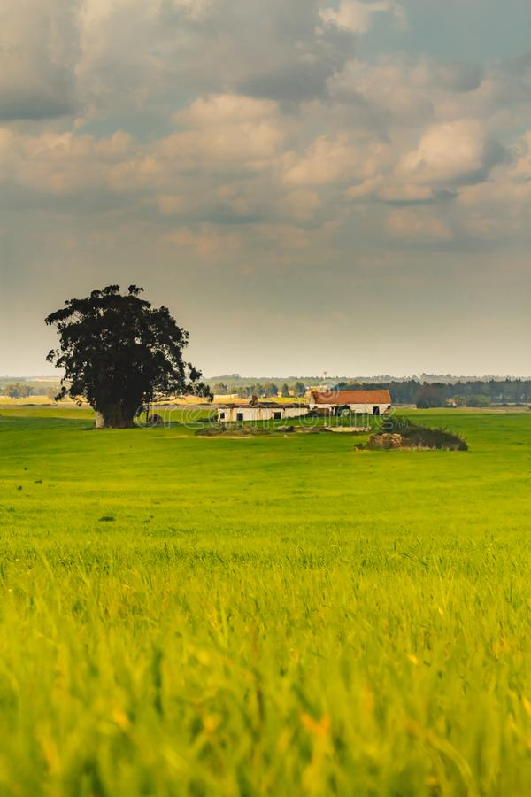 Ett gammalt hus fördärvar in och en stor eukalyptus i mitt av fältet royaltyfria foton